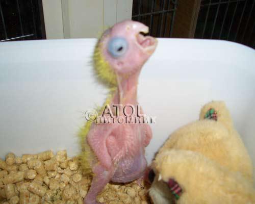 Как вылупляются волнистые попугаи